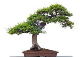 bonsai-fb6