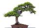 cropped-bonsai-fb63.png